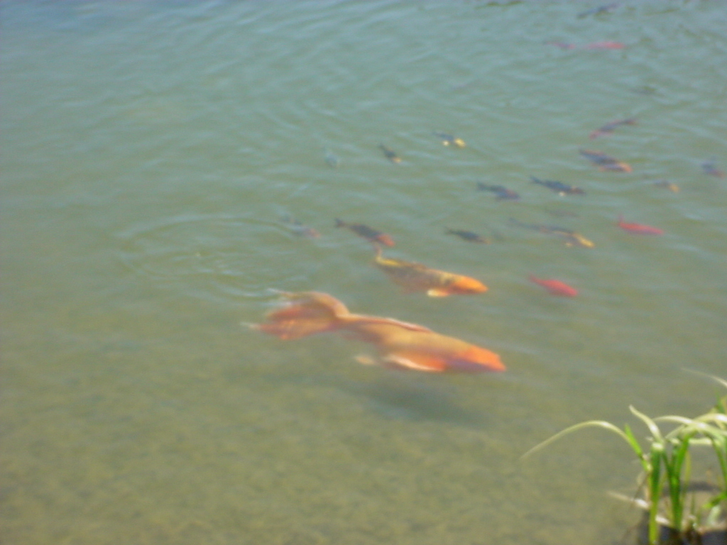 Meet the friends for Baby butterfly koi fish for sale